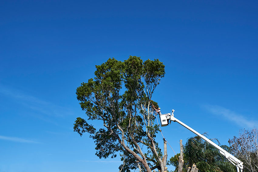large tree removal sarasota venice tampa fort myers